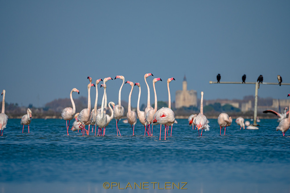 Male Flamingos courting in Aigues Mortes France