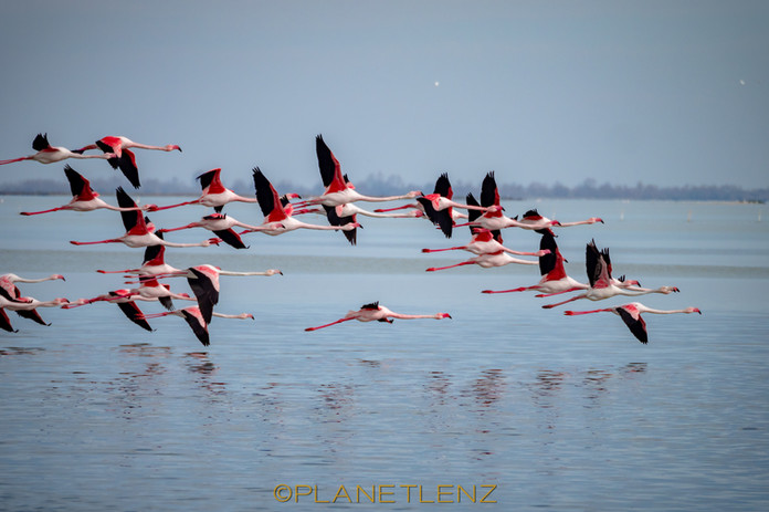 Flamingo Off!