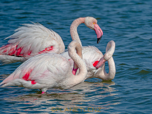 Flamingo Finder – The best places to find Flamingos in France