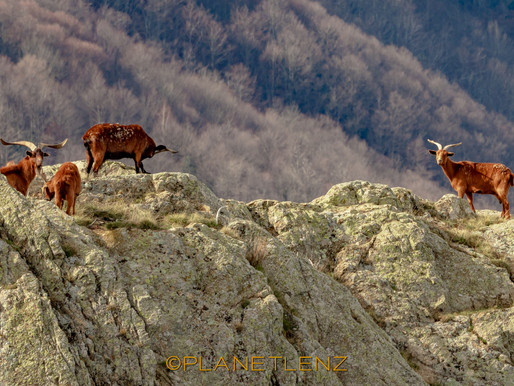 Iberian Ibex in the Pyrenees - Hiking the Boarder of France and Spain
