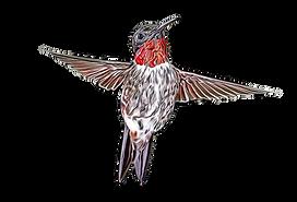 hummingbird toon.png