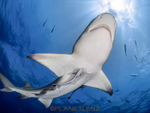 Shark Diving Jupiter Florida - Is it worth it?
