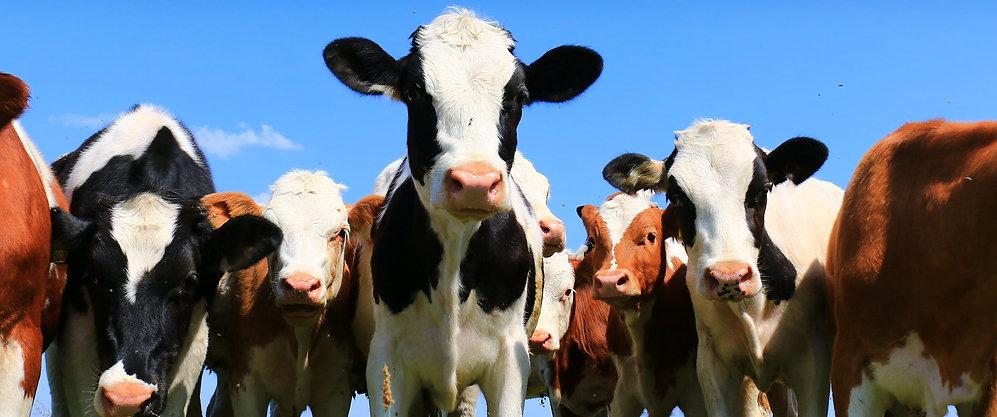 Calves on the field.jpg