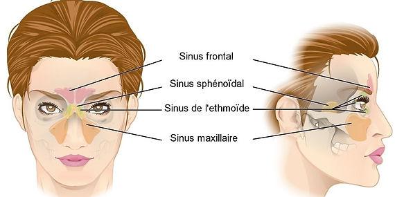 sinusite anatomie des sinus