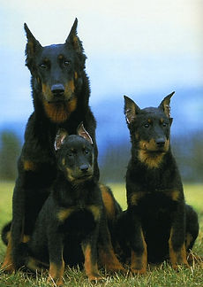 Beauceron breeder beauceron puppies