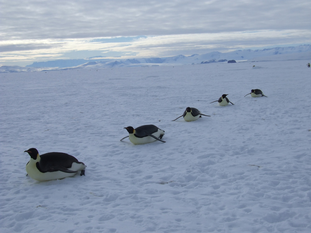 Five Emperor Penguins slide across the ice at cape Washington, Antarctica.