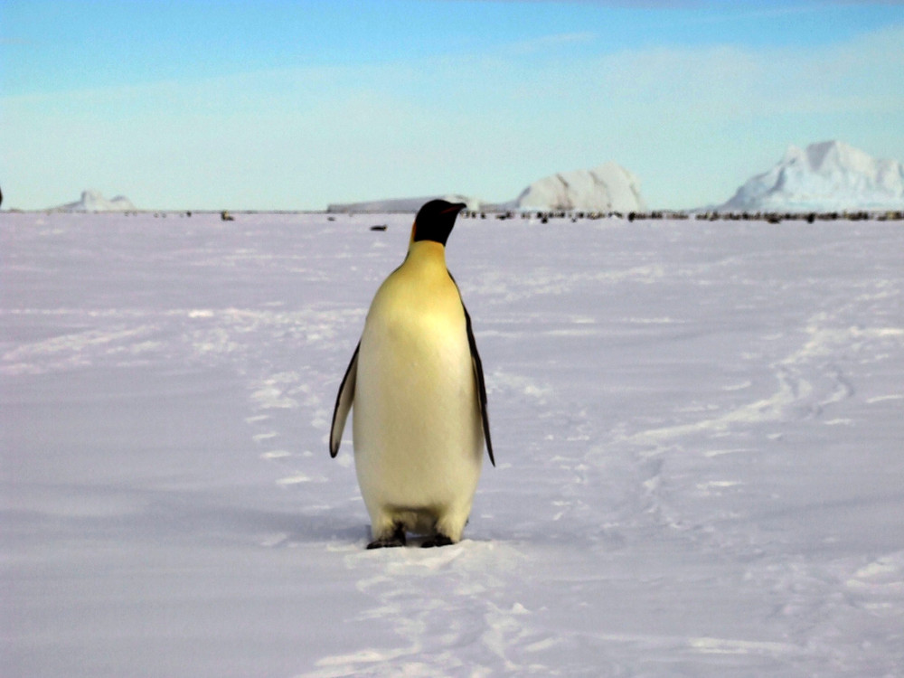 An Emperor Penguin at Cape Washington, Antarctica, shows of its plumage.