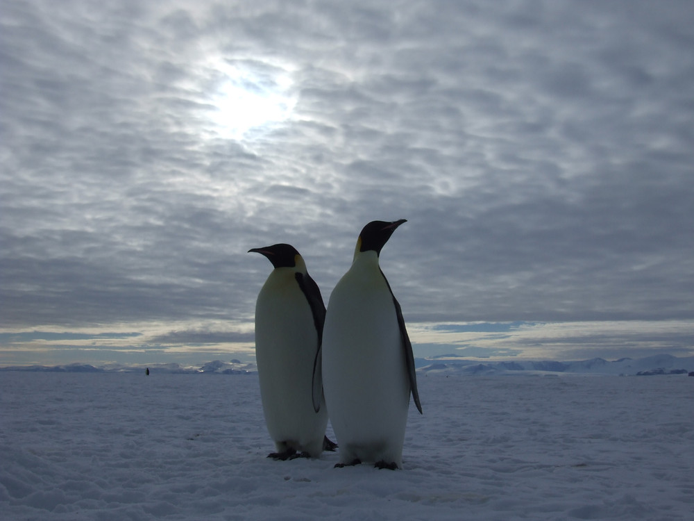 Two Emperor Penguins stand guard at Cape Washington, Antarctica.