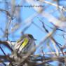 Warbler - Yellow Rumpled (2).JPG
