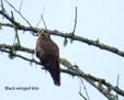 Kite - Black winged.JPG