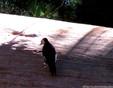 Woodpecker - White headed.JPG
