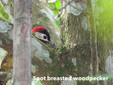 Woodpecker-Spotted breasted.jpg