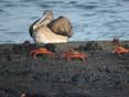 Pelican-Grey.jpg