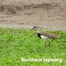 Lapwing-Southern.jpg