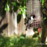 Chickadee - Carolina - Copy.JPG