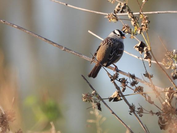 Sparrow - Lincoln.jpg