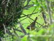Yellow throat - Common.jpg