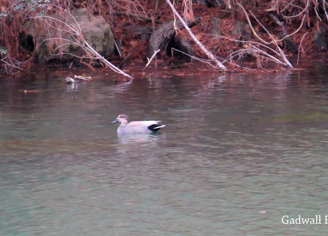 Duck - Gadwall.JPG