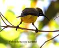 Sunbird - Yellow Breasted.JPG