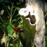 Woodpecker - white Billed.JPG