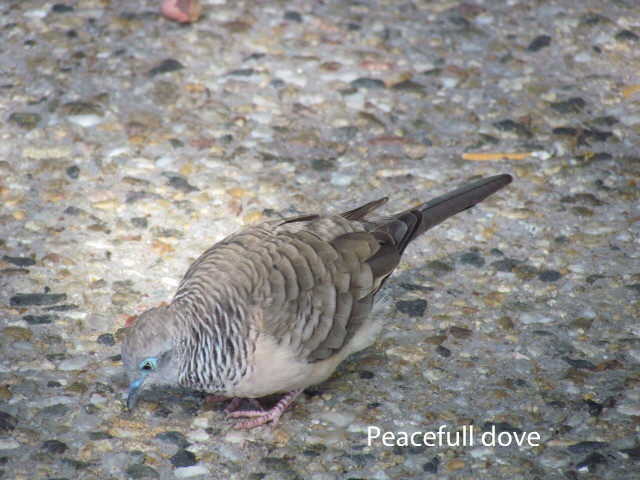 Dove - Peaceful.JPG