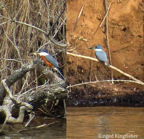 Kingfisher - Ringed.JPG