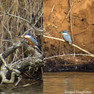 Kingfisher - Ringed.JPG