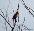 Cardinal - Northern.JPG
