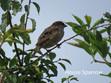 Sparrow-Common.jpg