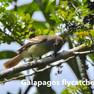 Flycatcher-Galapagos.jpg