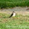 Kingbird Western.JPG