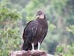 Vulture - Black.JPG