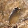 Sparrow - Rufous Crowned.JPG