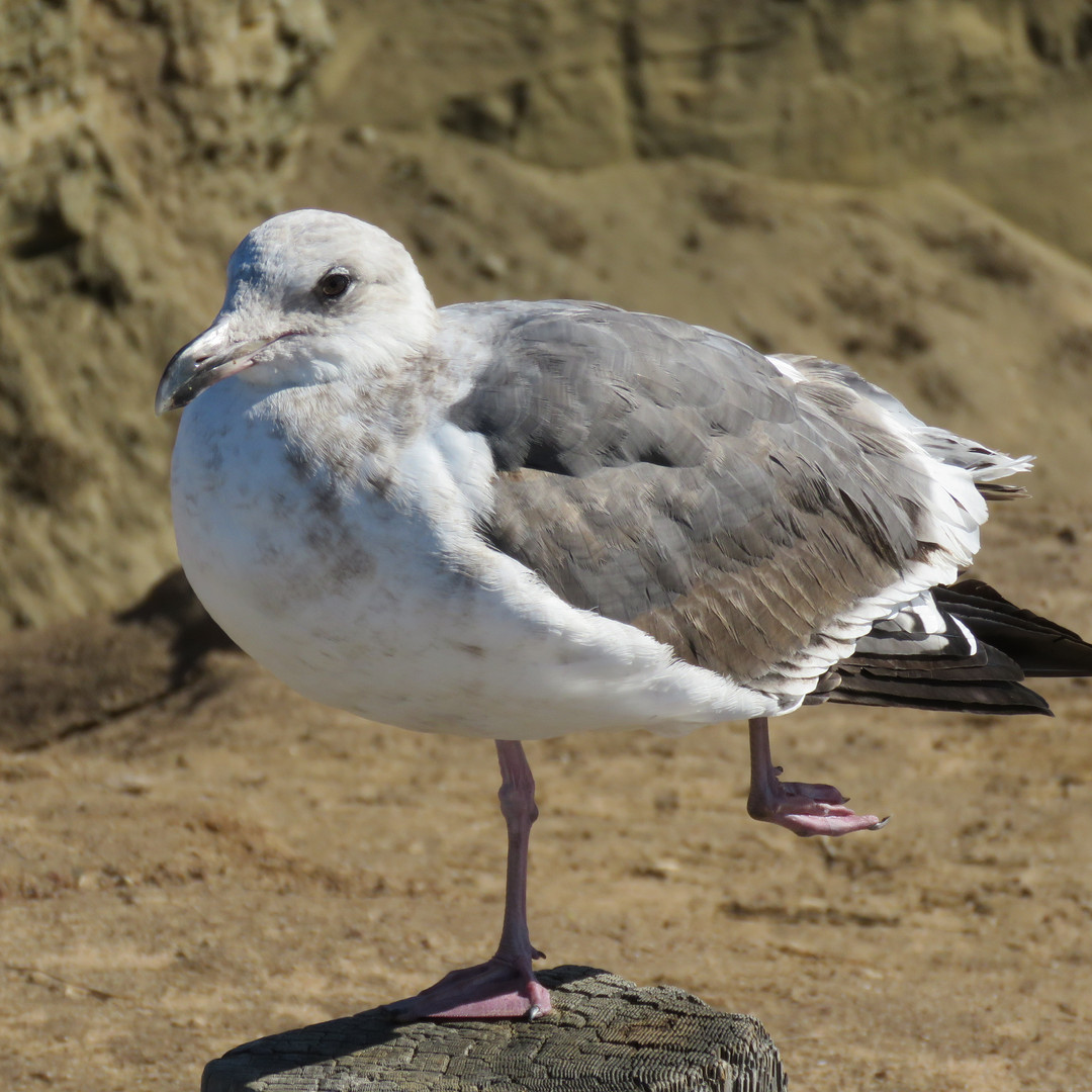 Gull-Black tailed.jpg