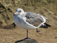 Gull-Black tailed.jpg