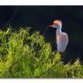Egret - Cattle.JPG