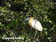 Heron-Capped.jpg
