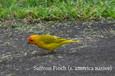 Finch - Saffron.JPG