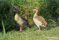 Goose - Egyptian.JPG