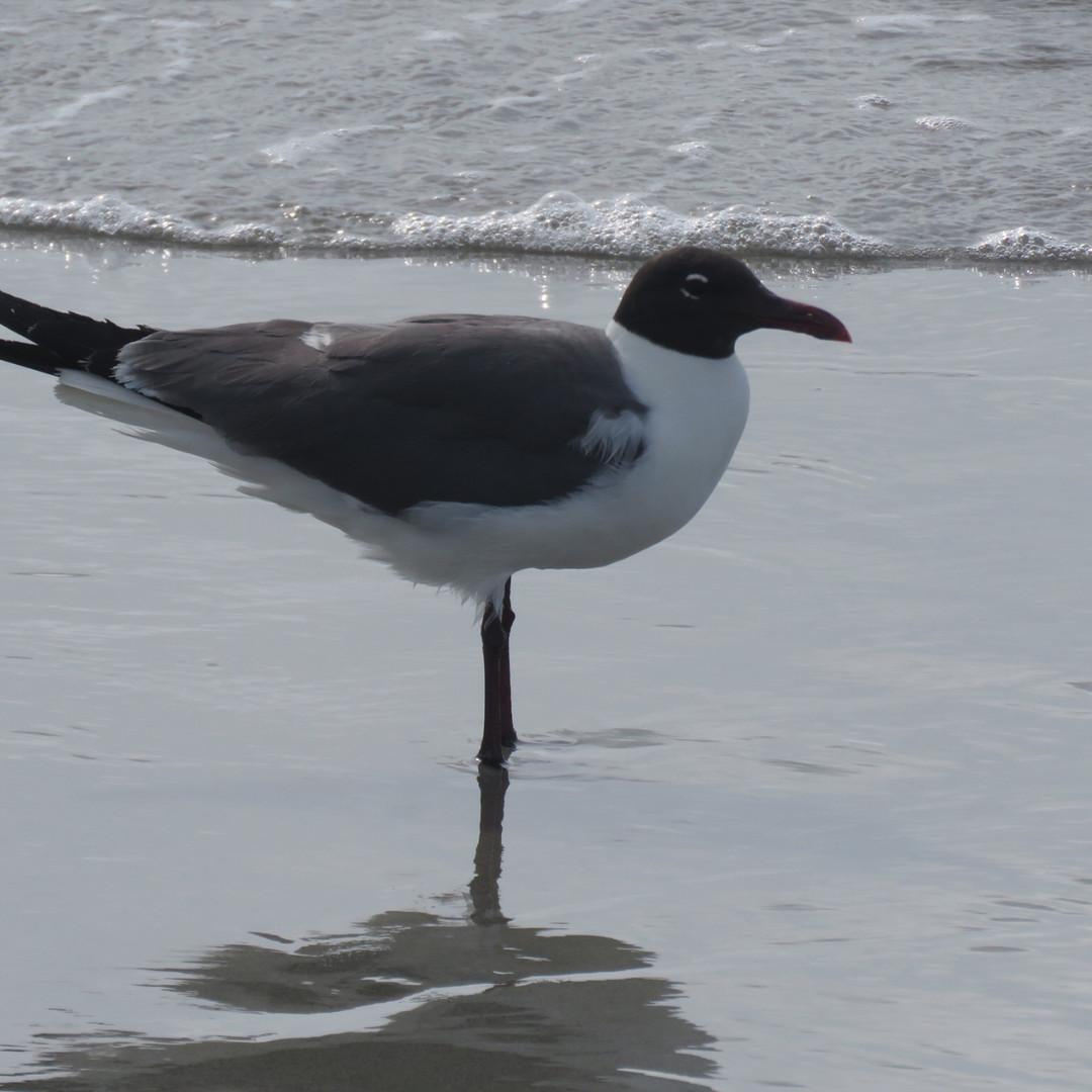 Gull-Franklins.jpg