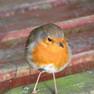 Robin-English.JPG