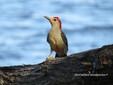 Woodpecker - Red Bellied.JPG