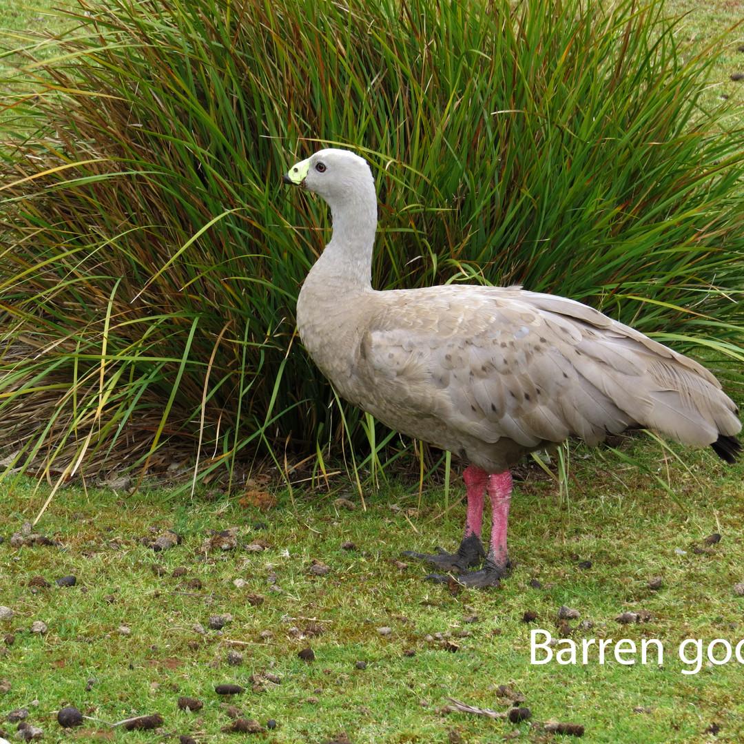 Goose - Barren.JPG