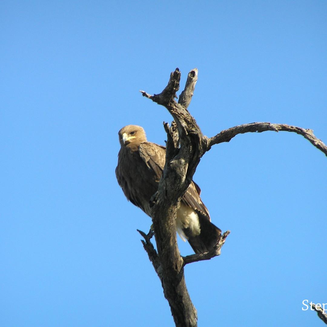 Eagle - Steppe.JPG
