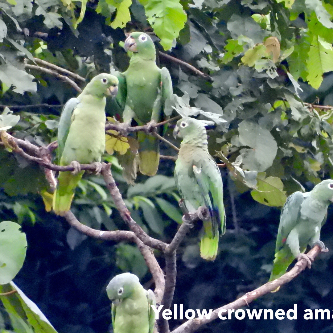 Amazon-yellow crowned.jpg