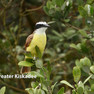 Kiskadee Greater .jpg