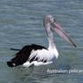 Pelican Australian.JPG