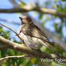 Figbird - Yellow F.JPG