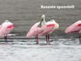 Spoonbill-Roseate.jpg