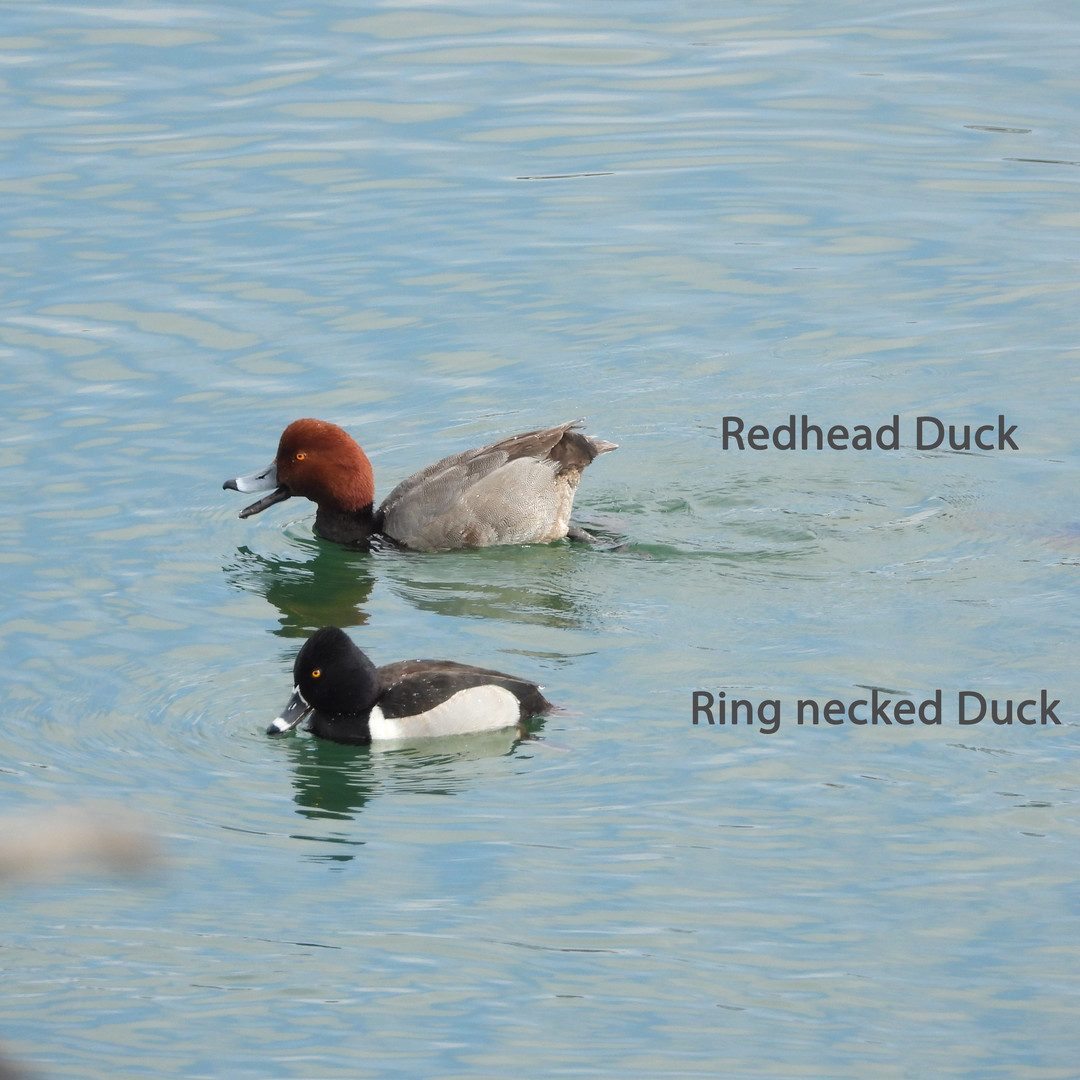 Red headed Duck.jpg
